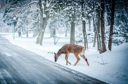 Deer about to cross snowy road